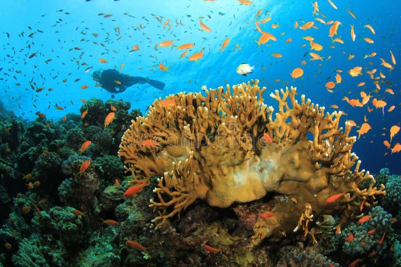 El zambullidor de equipo de submarinismo explora el filón coralino hermoso imagen de archivo libre de regalías