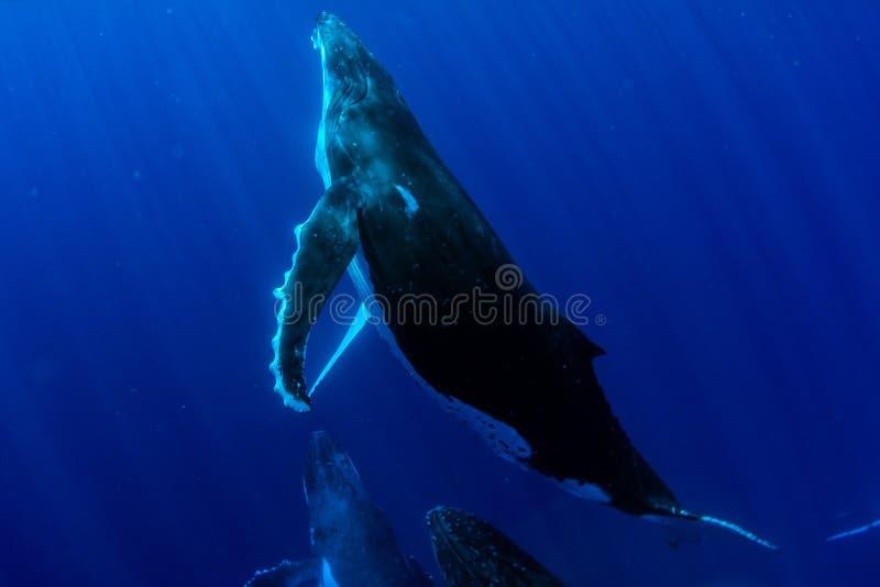 El zambullirse con la ballena jorobada bajo el agua en Moorea Polinesia francesa foto de archivo