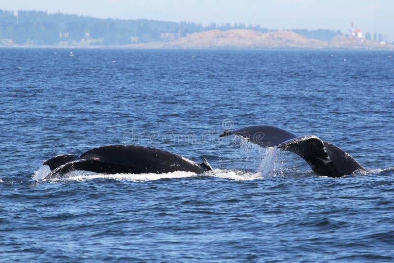 El zambullirse de las ballenas jorobadas de la mamá y del bebé foto de archivo libre de regalías