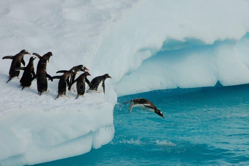 El zambullirse de los pingüinos imagenes de archivo