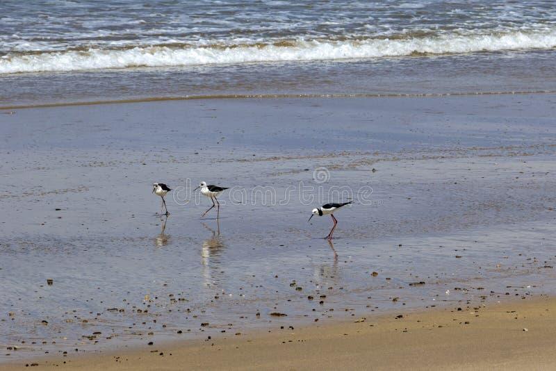 El zanco de varios colores del pájaro es un pájaro que vadea delicado en Nueva Zelanda fotos de archivo