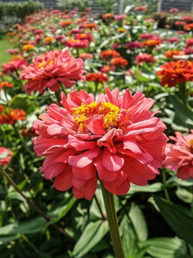 El Zinnia rosado floreciente florece con polen amarillo en jardín de flores imagenes de archivo