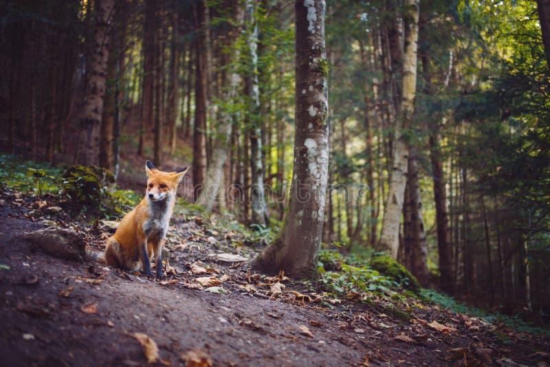 El zorro foto de archivo libre de regalías