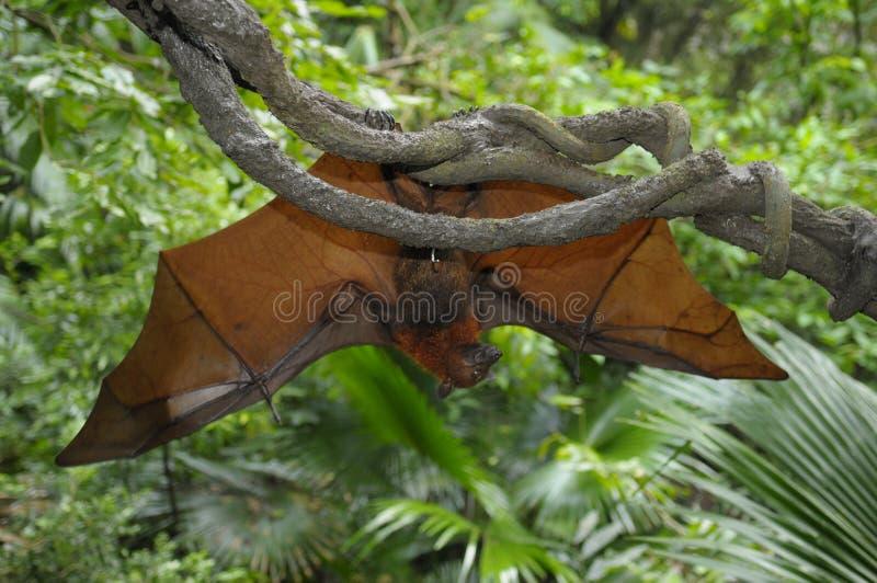 El zorro de vuelo (vampyrus del Pteropus) imágenes de archivo libres de regalías