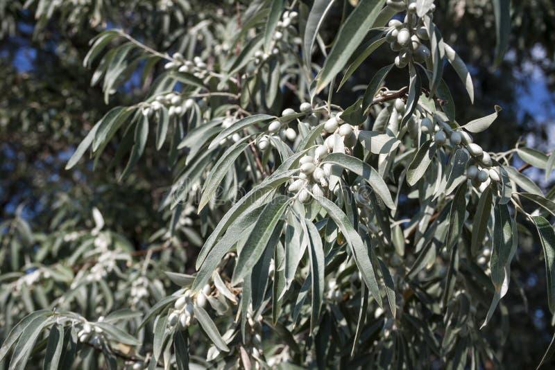 Elaeagnus angustifolia comunemente chiamata oliva russa, more d'argento, oleastro, oliva persiana o oliva selvatica immagine stock libera da diritti