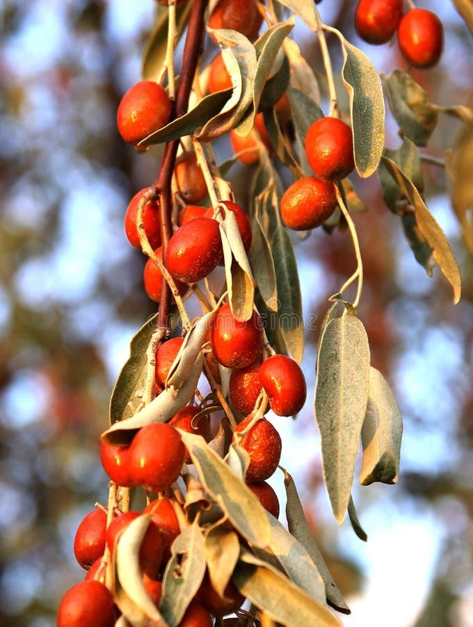Elaeagnus fruit royalty free stock images