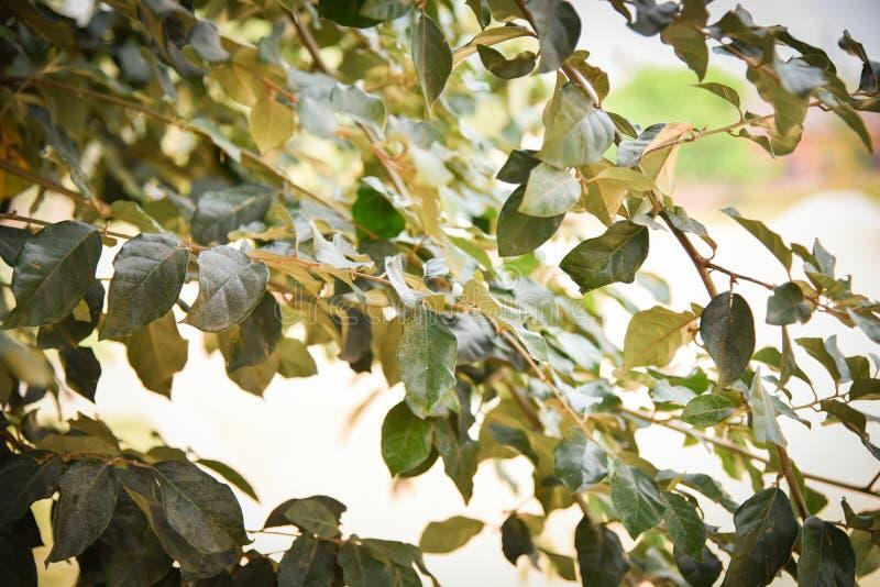 Elaeagnus latifolia obraz stock