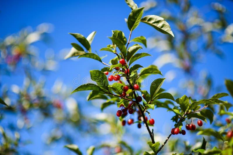 Elaeagnus multiflora &-x28; Goumi, Gumi, Natsugumi lub wiśnia silverberry, obraz stock