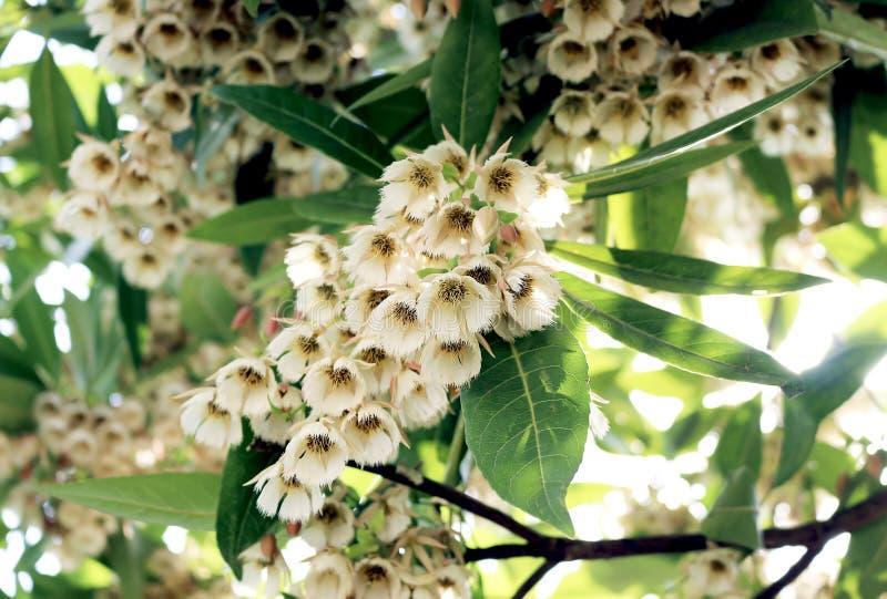 Download Elaeocarpus Grandiflorus Sm Kwiaty Zdjęcie Stock - Obraz złożonej z park, liść: 53779174