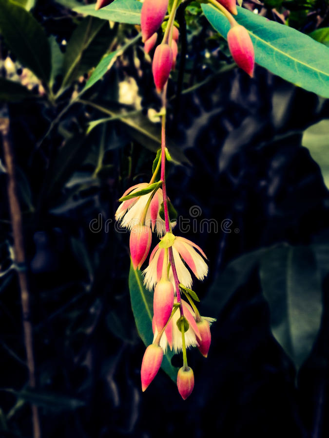 Elaeocarpusgrandiflorus sm stock foto