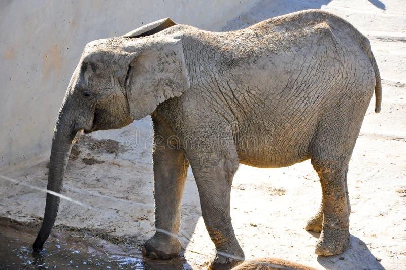 Elafhant στο ζωικό πάρκο Friguia. Hammamet, Τυνησία. στοκ φωτογραφία