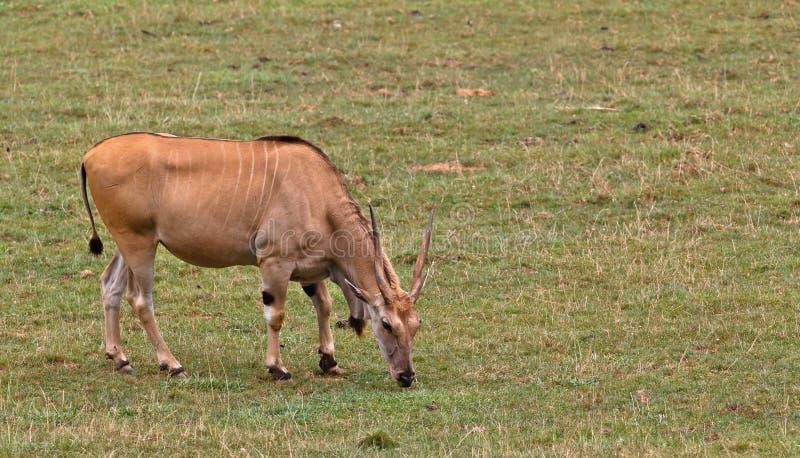 eland羚羊属非洲羚羊类 库存照片