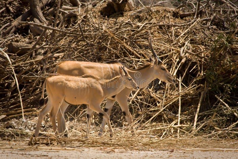 Eland Antelope Calf Stock Image