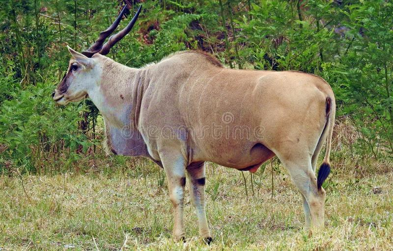 Eland Antelope - Largest Antelope. Eland antelope, the largest of the antelopes that can grow to a weight of 1000kg royalty free stock photo