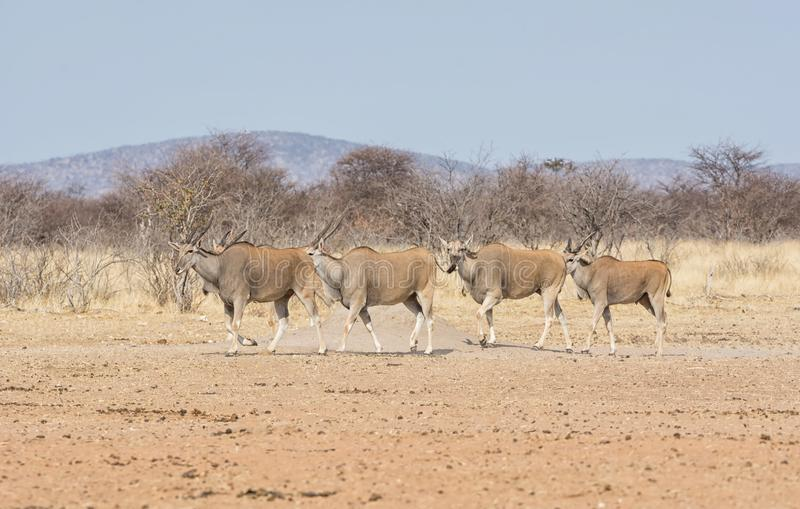 Eland antilop royaltyfri fotografi