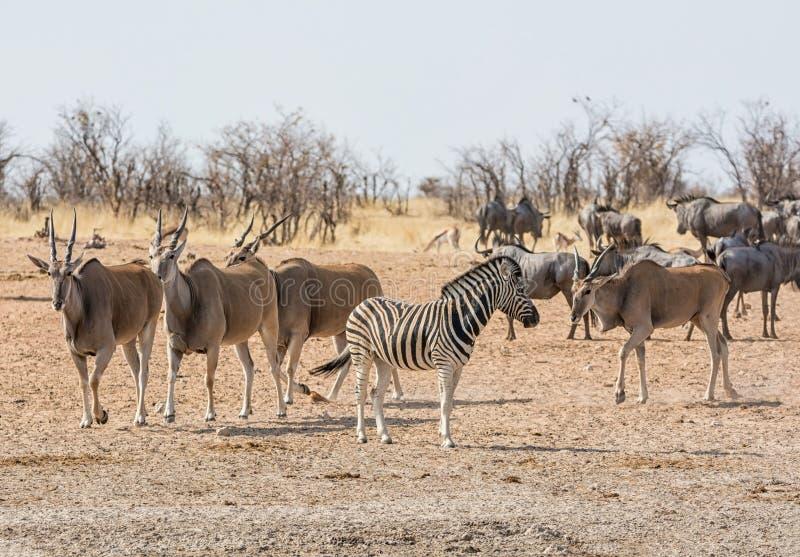 Eland antilop royaltyfri bild