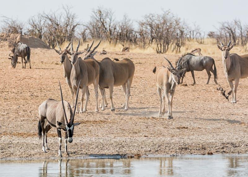 Eland antilop arkivbilder