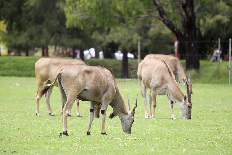 Eland antilop arkivbild
