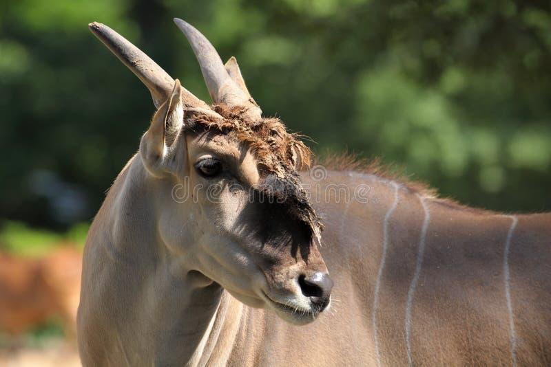 Eland Antilope Lizenzfreie Stockfotos