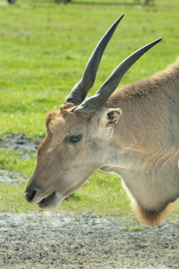 Eland común (oryx del Taurotragus) fotografía de archivo libre de regalías