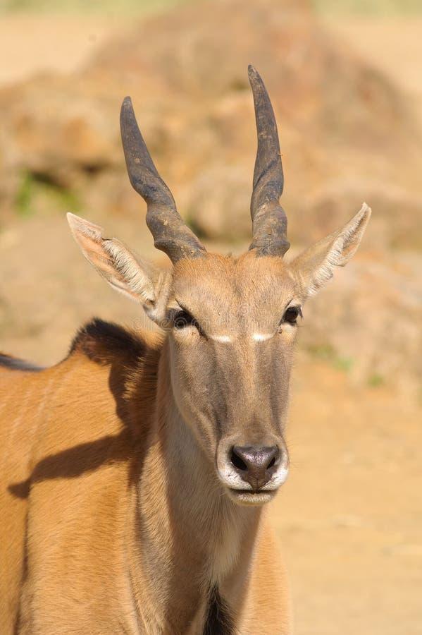 Eland det störst av den afrikanska antilopet arkivfoton