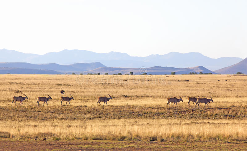 Eland Herd. Eland (Taurotragus oryx) in the Mountain Zebra National Park, South Africa royalty free stock photography