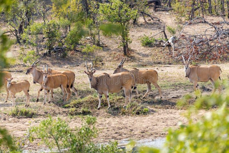 Eland i Kruger NP royaltyfri foto