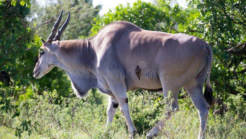 """Eland la più grande antilope nel Kenya \ """"la savana di s fotografia stock"""