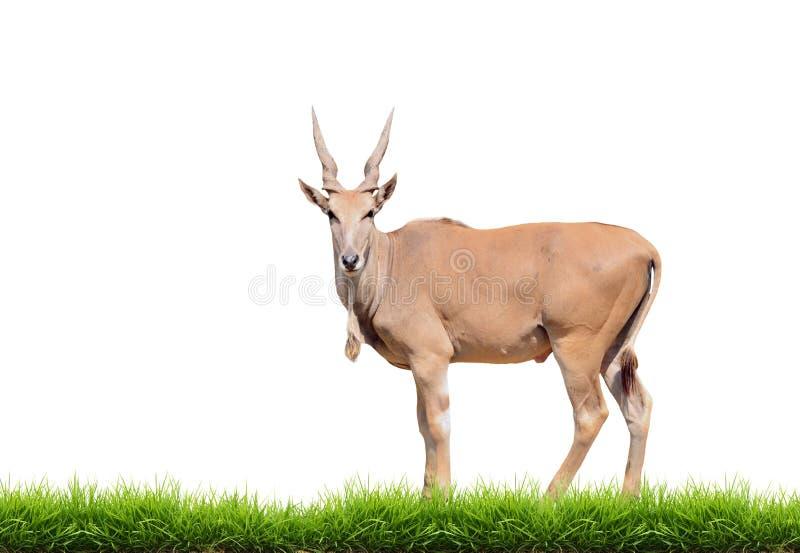 Eland med isolerat grönt gräs arkivbild