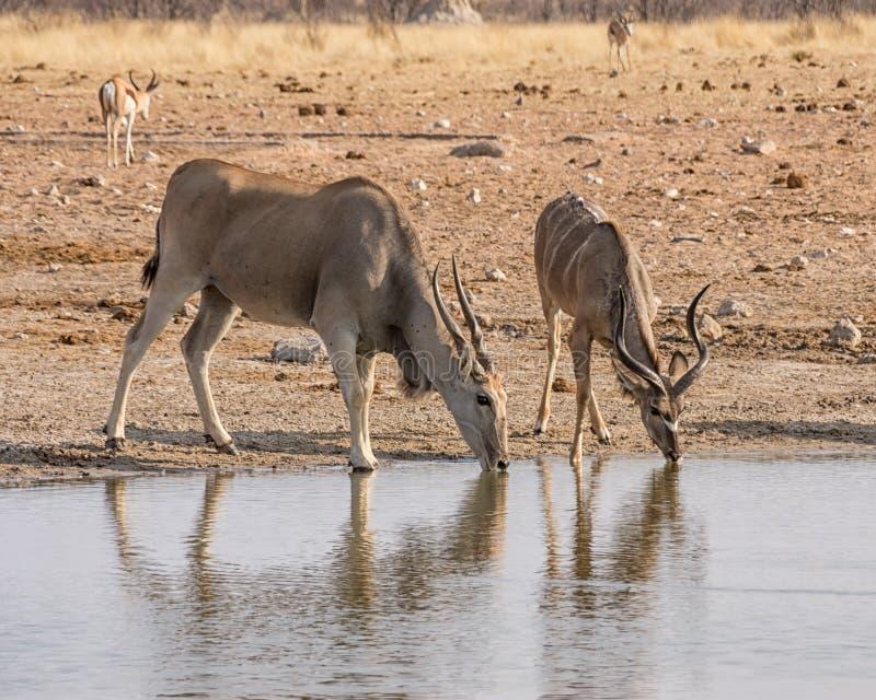 Eland och Kudu tjurar royaltyfria foton