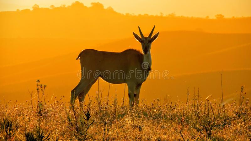 Eland på solnedgången royaltyfri bild