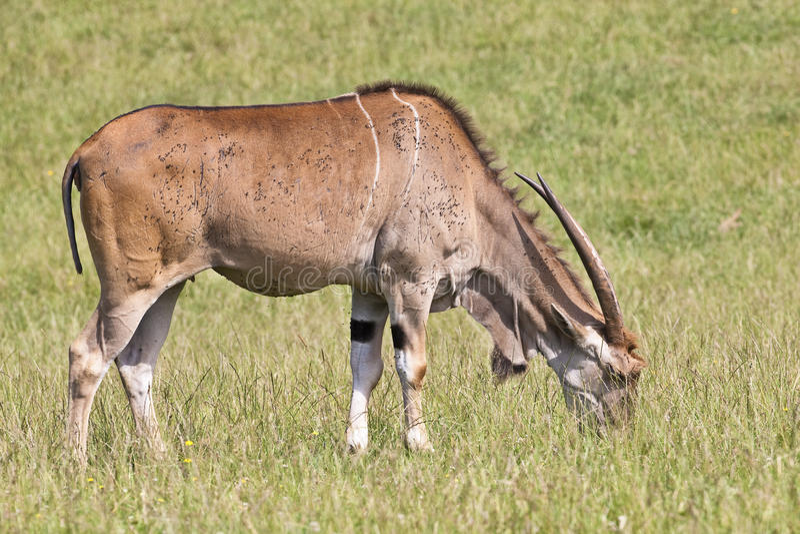 Download Eland - Taurotragus stock image. Image of grassland, antelope - 10177633