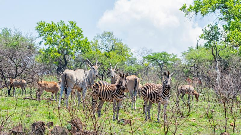 Eland, Zebra and Hartebeest. In Southern African savanna stock photo