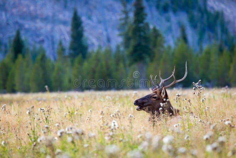 elanden royalty-vrije stock afbeelding