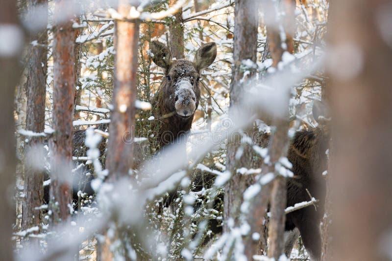 Elanden Alces Alces in de Winter Forest Female Moose Eurasian Elk in Forest Among The Trees De Snuit van een Volwassen Amerikaans stock foto