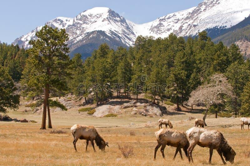 Elanden in de bergen van Colorado royalty-vrije stock fotografie