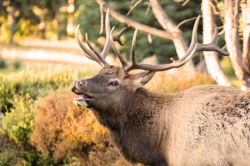 Elanden in Jaspis, Alberta royalty-vrije stock foto's