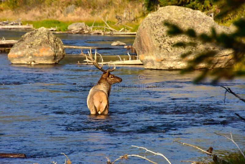 Elanden in Madison River stock foto's