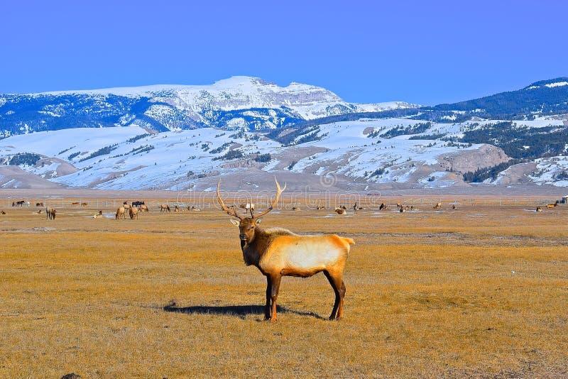 Elandenbok in Elandentoevluchtsoord, Jackson Hole royalty-vrije stock afbeelding