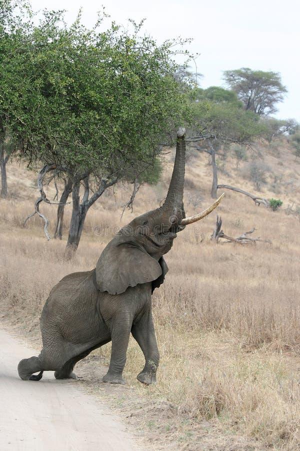 Download Elaphant stock photo. Image of safari, african, massive - 8951312