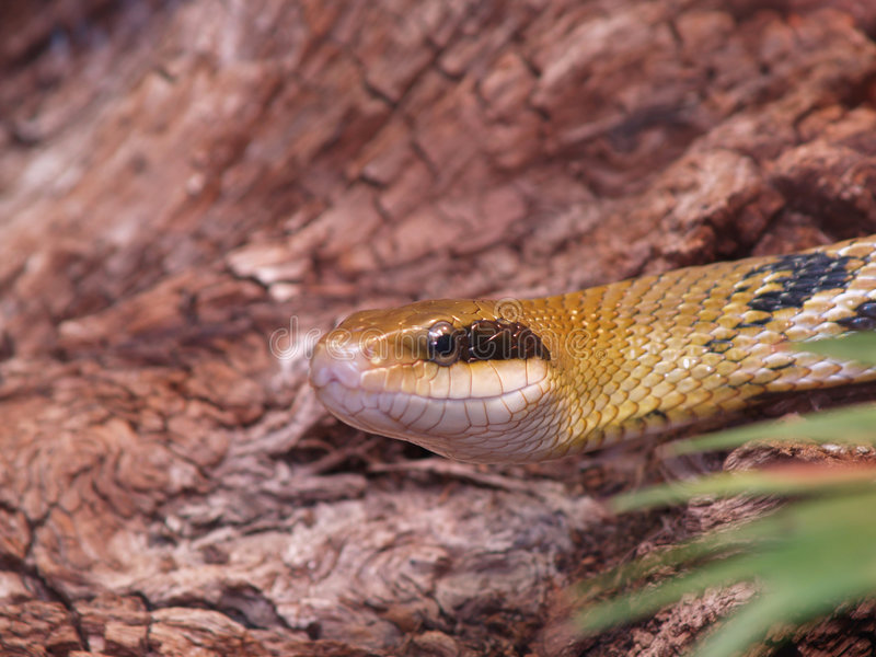 elaphe吃鼠的蛇taeniura 库存照片