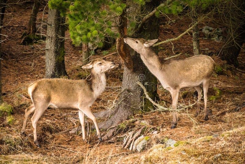 Elaphus Cervus 2 красных оленей есть расшиву от дерева на краю леса стоковые фото