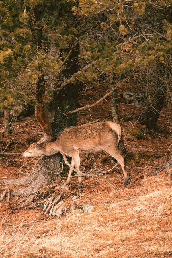 Elaphus Cervus красных оленей тереть ее голову и шею на дереве стоковые фото