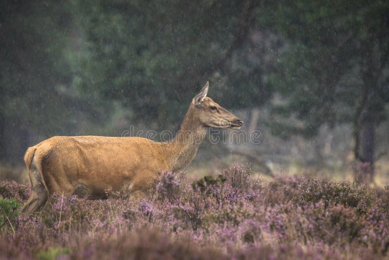 Elaphus femenino del Cervus de los ciervos comunes fotografía de archivo libre de regalías