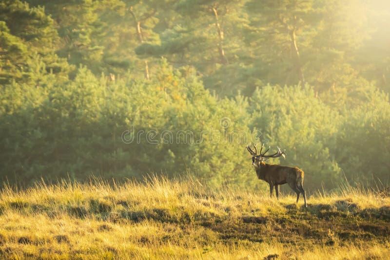 Elaphus masculino del cervus del macho de los ciervos comunes, en celo durante puesta del sol fotos de archivo libres de regalías