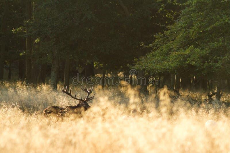 Elaphus masculino do Cervus dos veados vermelhos com os chifres enormes durante a estação de acoplamento em Dinamarca foto de stock royalty free