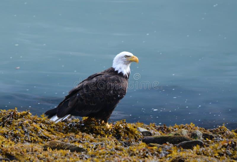 Elaskan Eagle photo stock