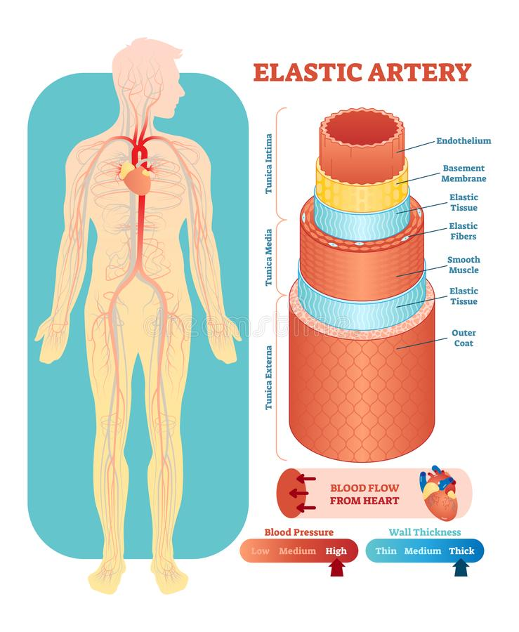 Elastic artery anatomical vector illustration cross section. Circulatory system blood vessel diagram scheme. Elastic artery anatomical vector illustration cross stock illustration