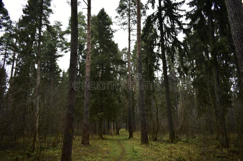 Elastic branches intertwine, prickly needles bristle over the forest road. The road separating stock images