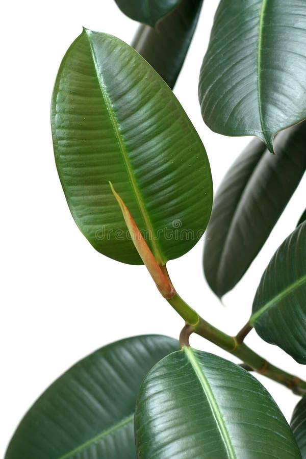 Elastica del Ficus immagine stock